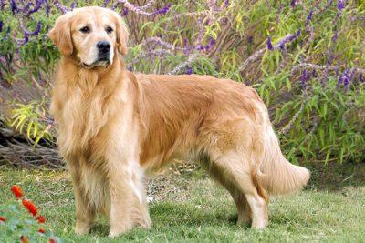 Golden-Retriever-Standing1-400x267